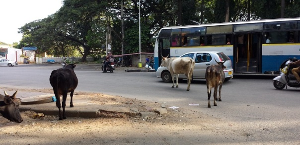 CowsInBangalore2